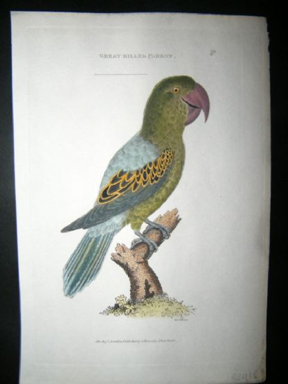Shaw C1800's Antique Hand Col Bird Print. Great Billed Parrot